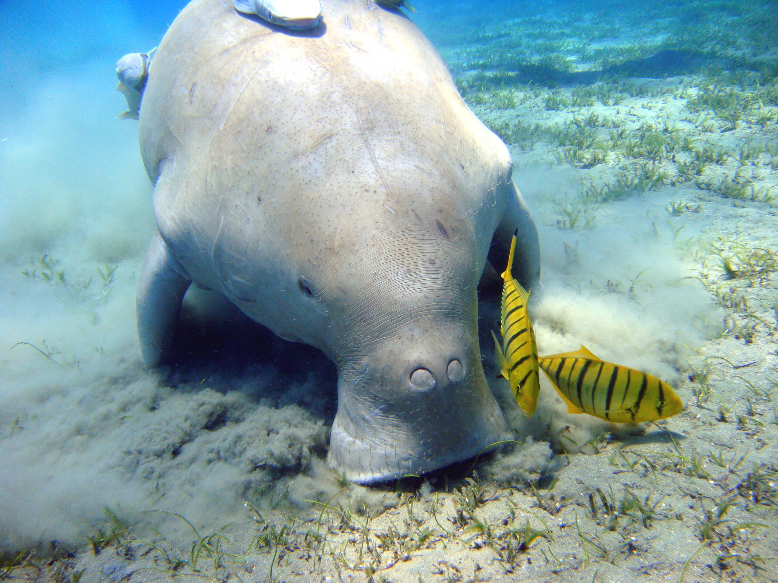 As U.S. Airbase Construction Starts in Okinawa, Legal Action Aims to Save Endangered Dugongs