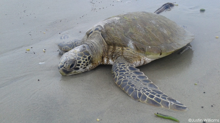 Cold Stunning Season Continues for Texas Turtles