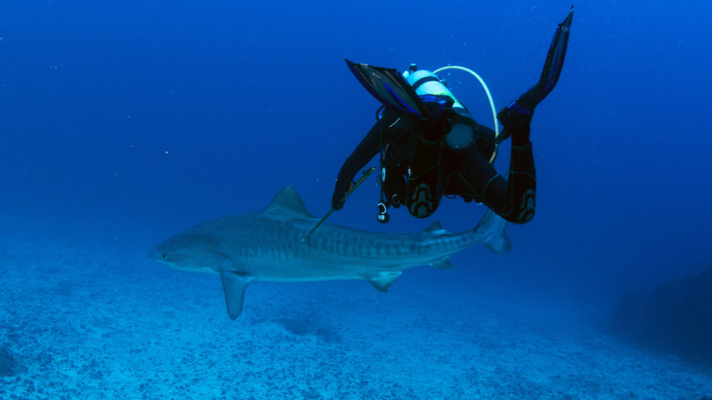 Using scuba and a six-foot pole spear, Turtle Island Restoration Network's Executive Director Todd Steiner placed an acoustic transmitter below the tiger shark's dorsal fin in order to monitor its habitat use at Cocos Island National Park. The tag will monitor the shark's movements for two or more years. | Photo by Turtle Island Restoration Network.