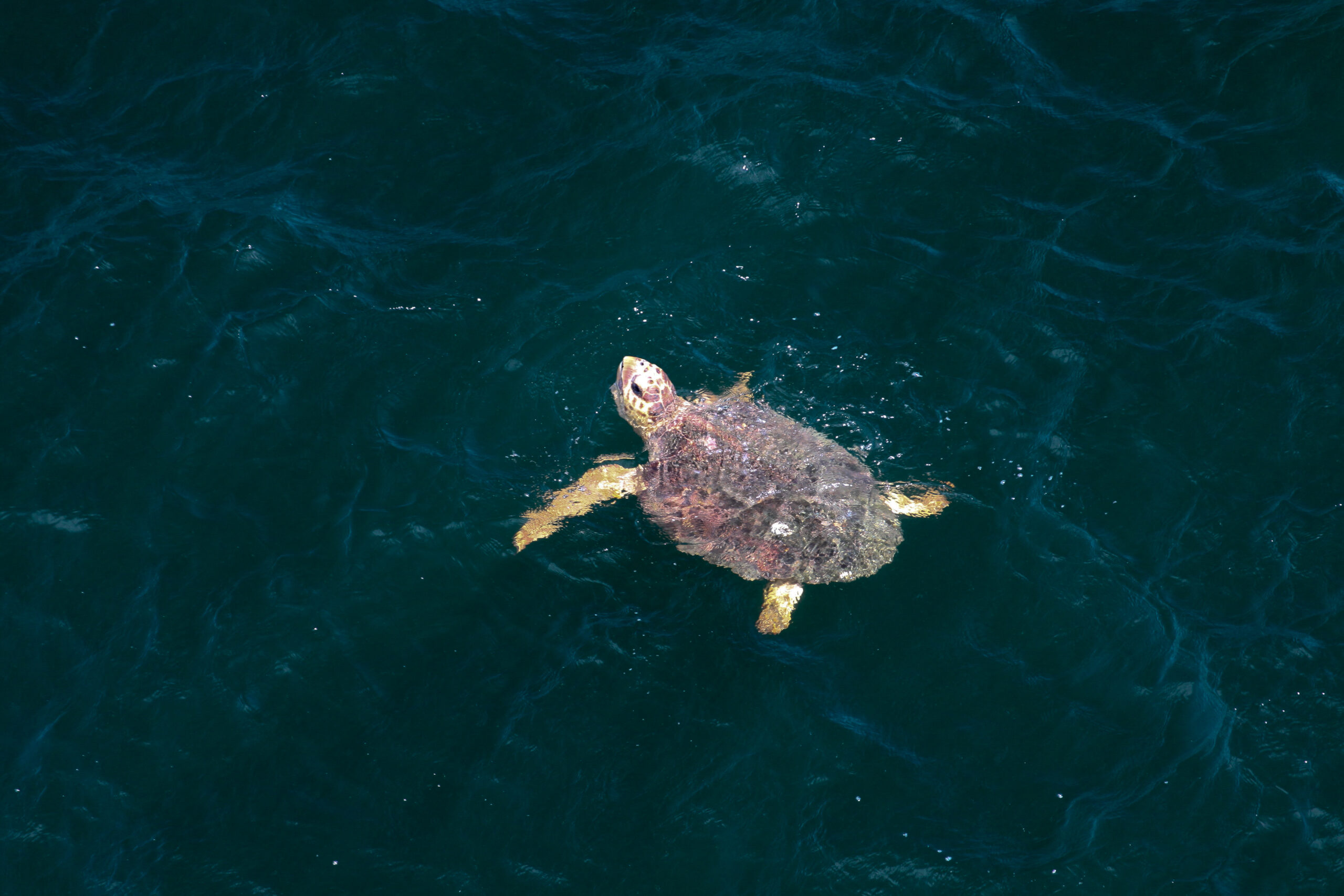 Hawaii Closes Longline Fishery for Interacting with Endangered Sea Turtle Limit