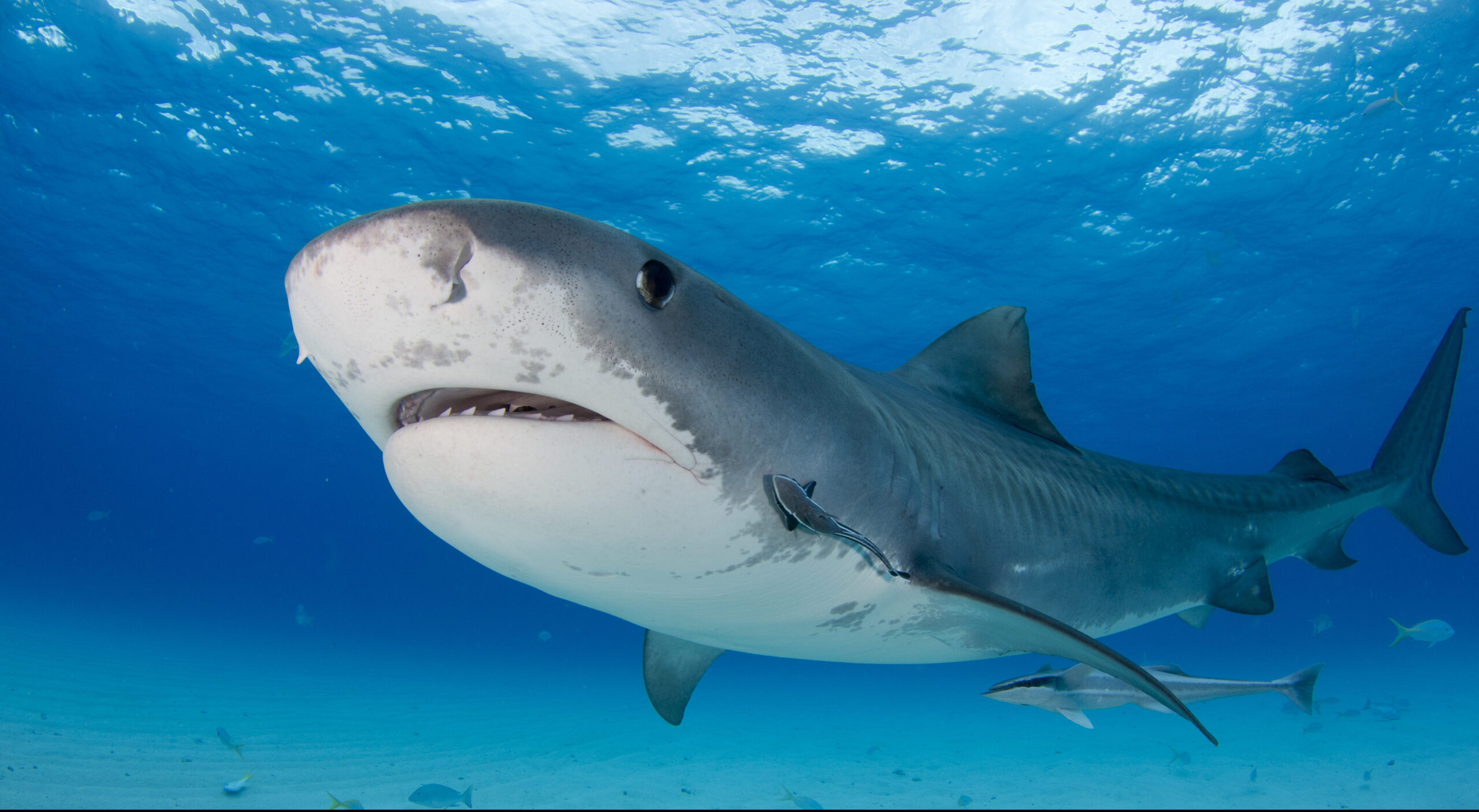 Hawaii Passes Landmark Protections for Sharks and Rays
