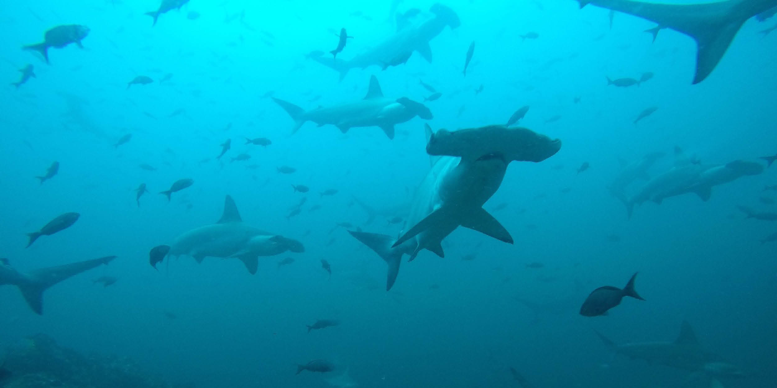 Endangered Sharks Migrate Through Unprotected Ocean, Researchers Find
