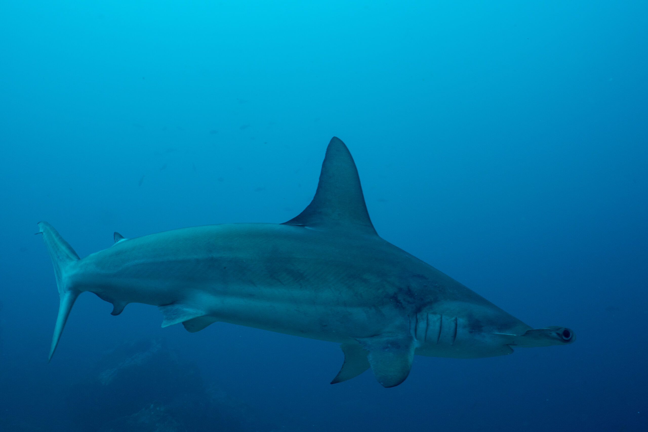 Want to Study Sharks? SFO Dive Show Highlights Shark Migration Research in Costa Rica