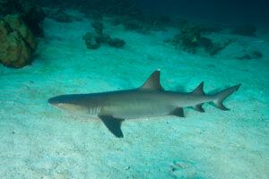Whitetip reef shark. Photo by GP Schmahl, Turtle Island Restoration Network
