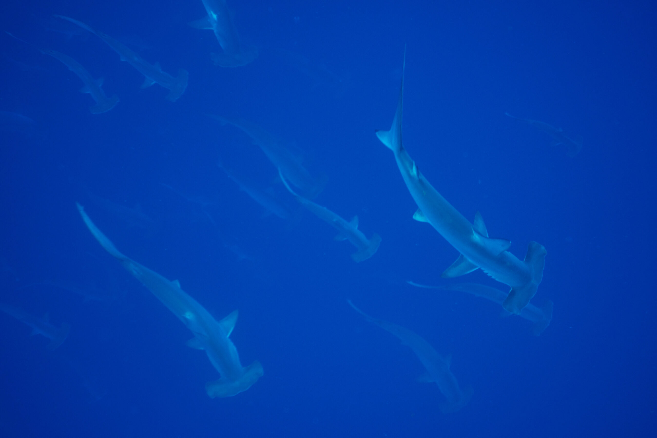 April 2019 Cocos Expedition: The Hammerheads