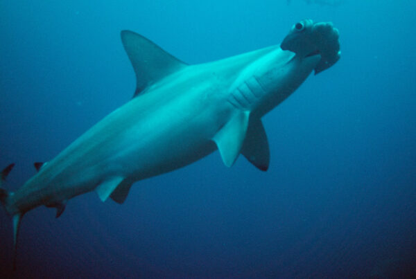 Sharks   Turtle Island Restoration Network
