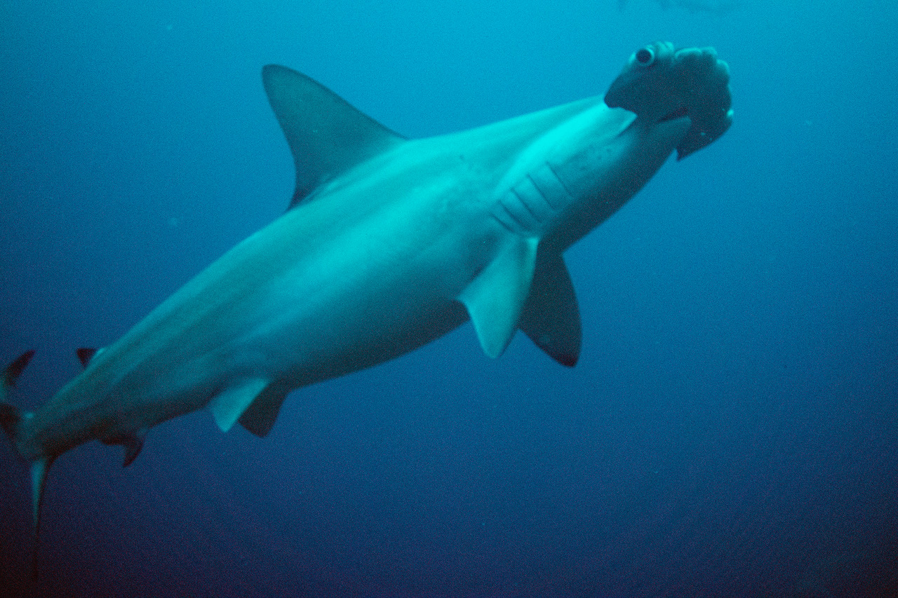 Canada Bans Importing, Exporting of Shark Fins
