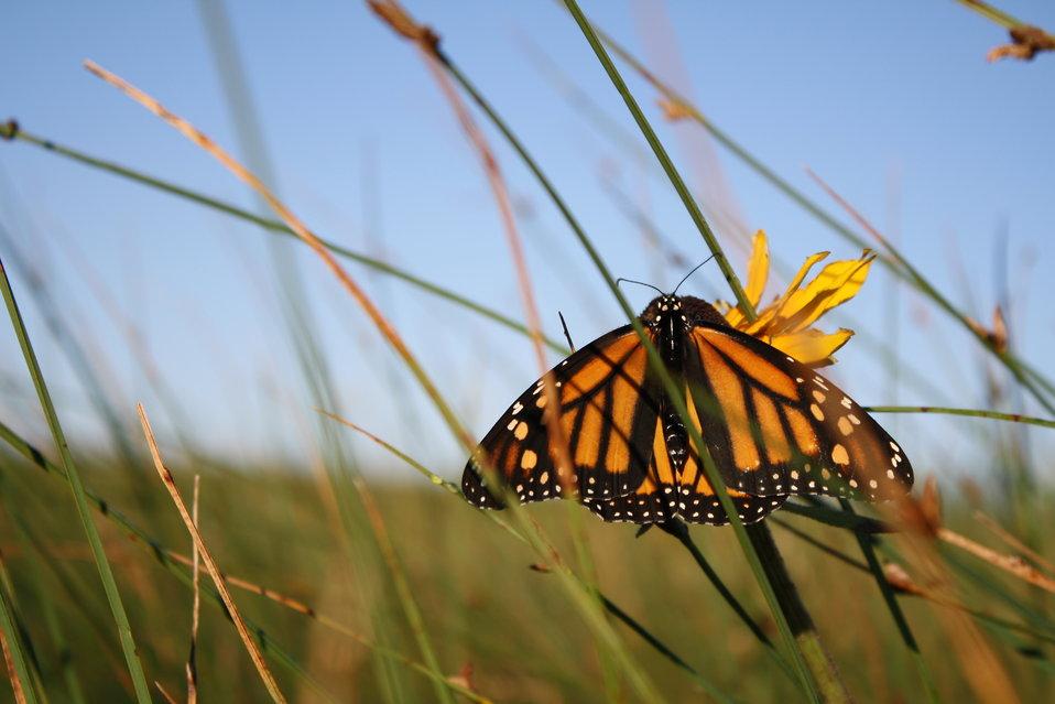 SPAWN Joins Statewide Effort to Restore Habitat for Western Monarchs
