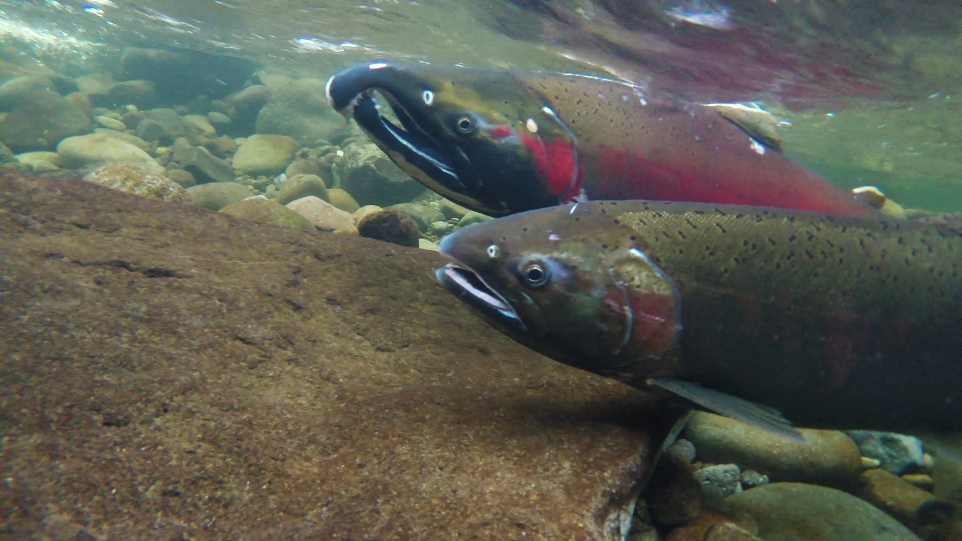 County of Marin Sued for Failing to Protect Critically Endangered Salmon Species