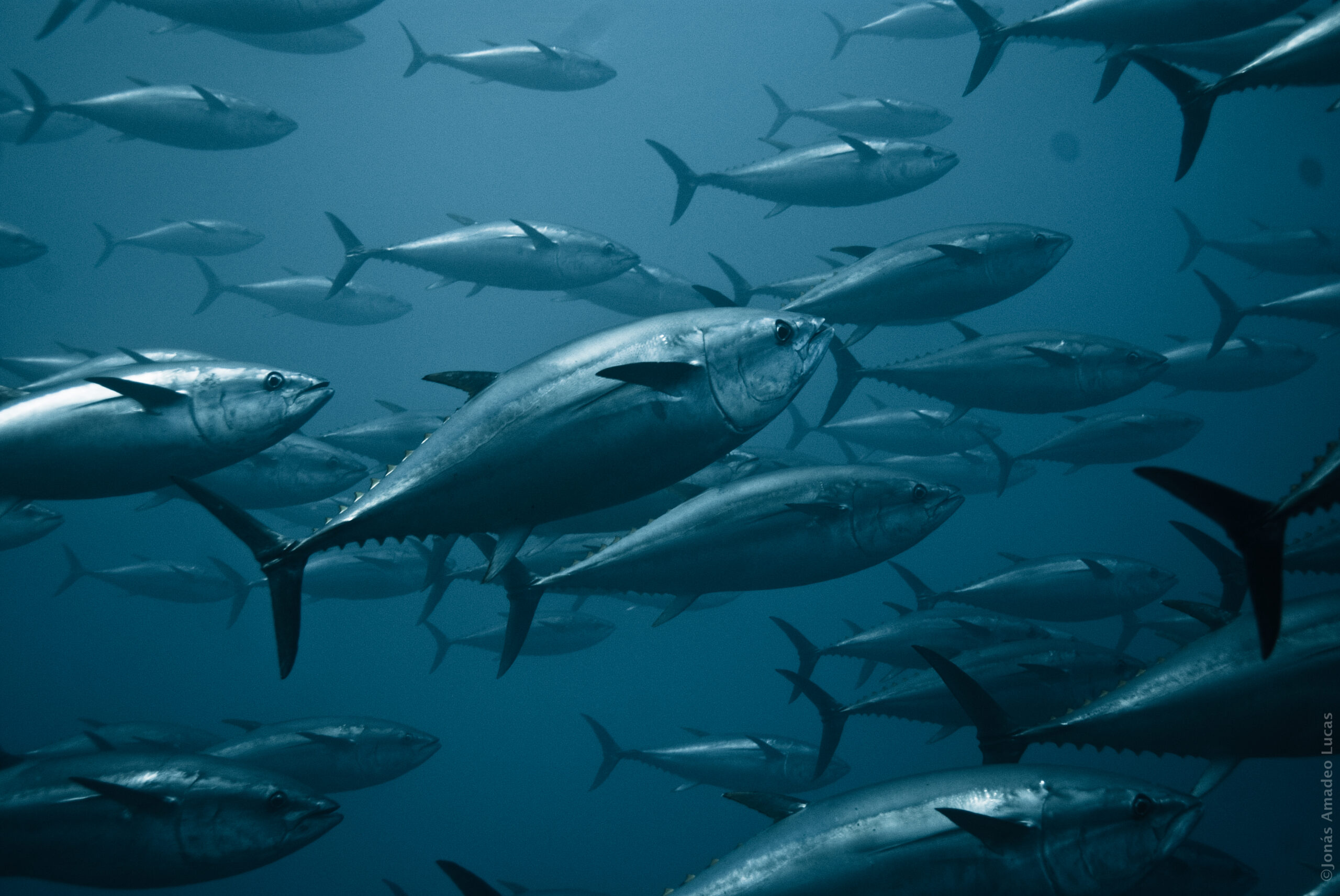 Groups Sue to Stop Trump Administration From Allowing Deadly Gear in Tuna Spawning Grounds