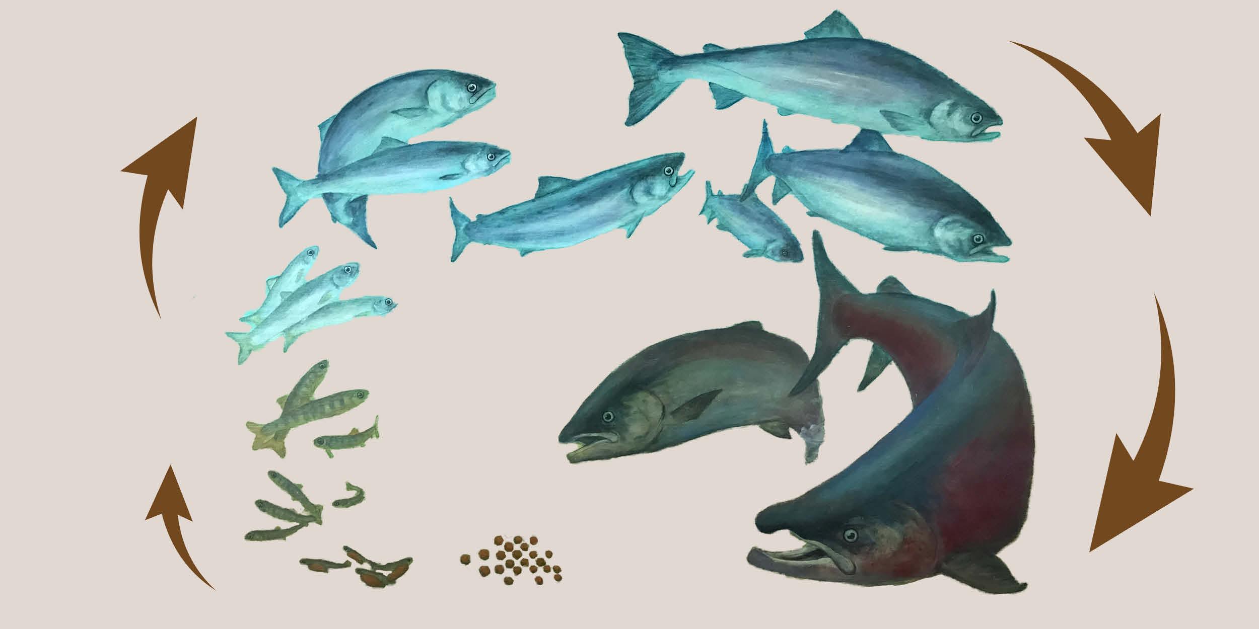 The Inspiring Lifecycle of Coho Salmon