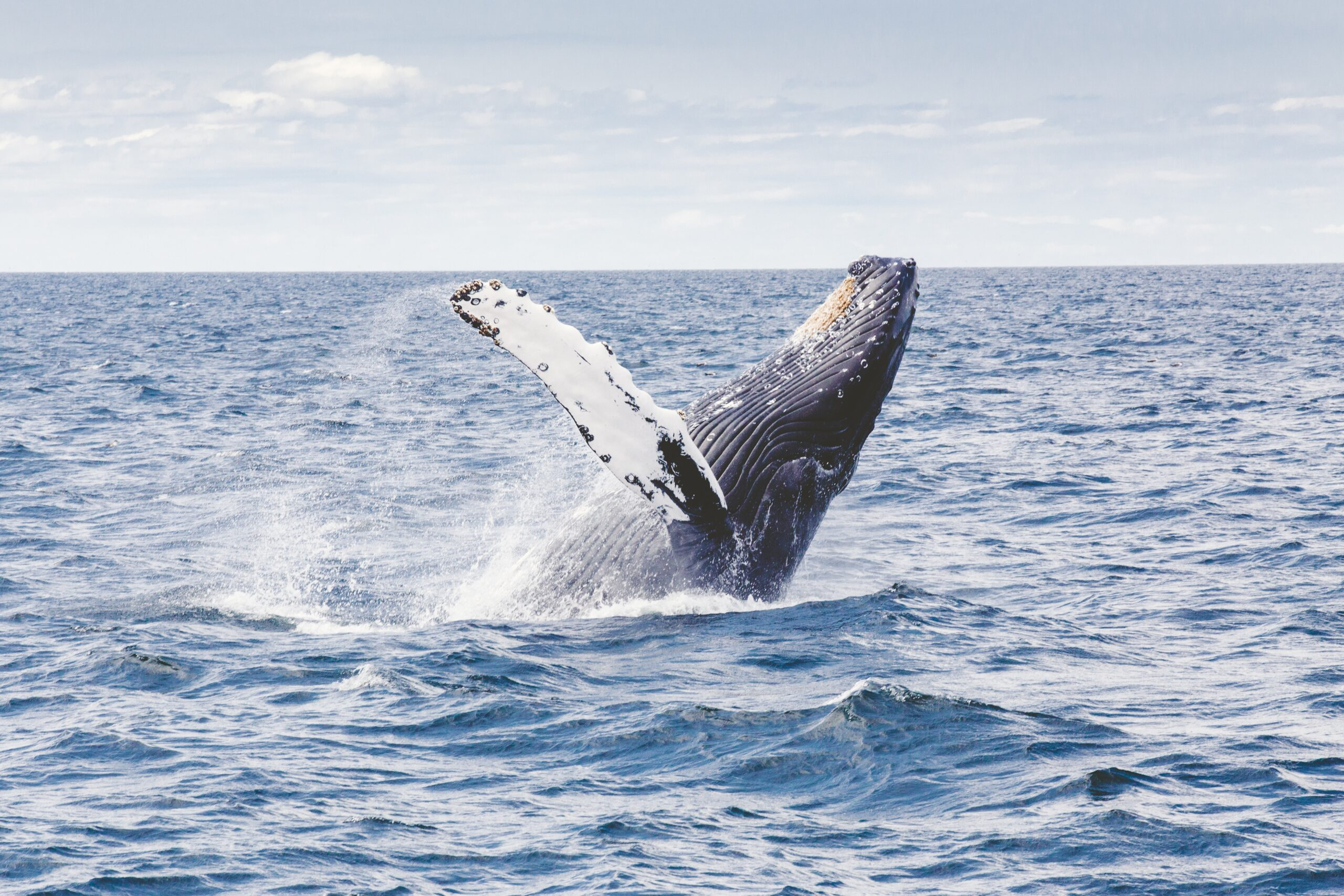 Federal Rule Proposed to Protect Pacific Humpback Whale Habitat