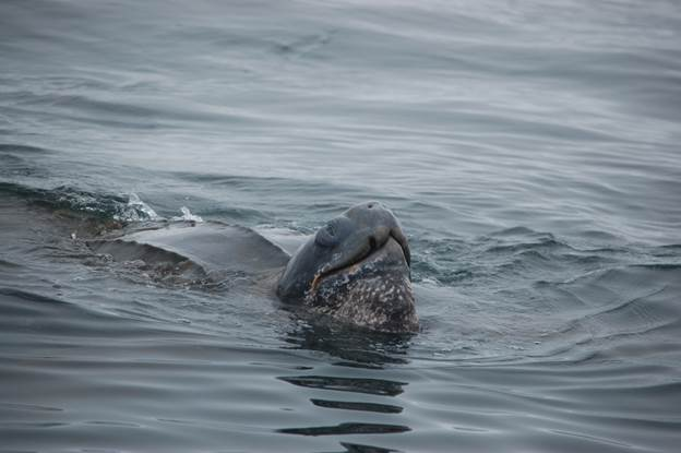 California to Hold Hearing on Listing Pacific Leatherbacks Under State Endangered Species Act