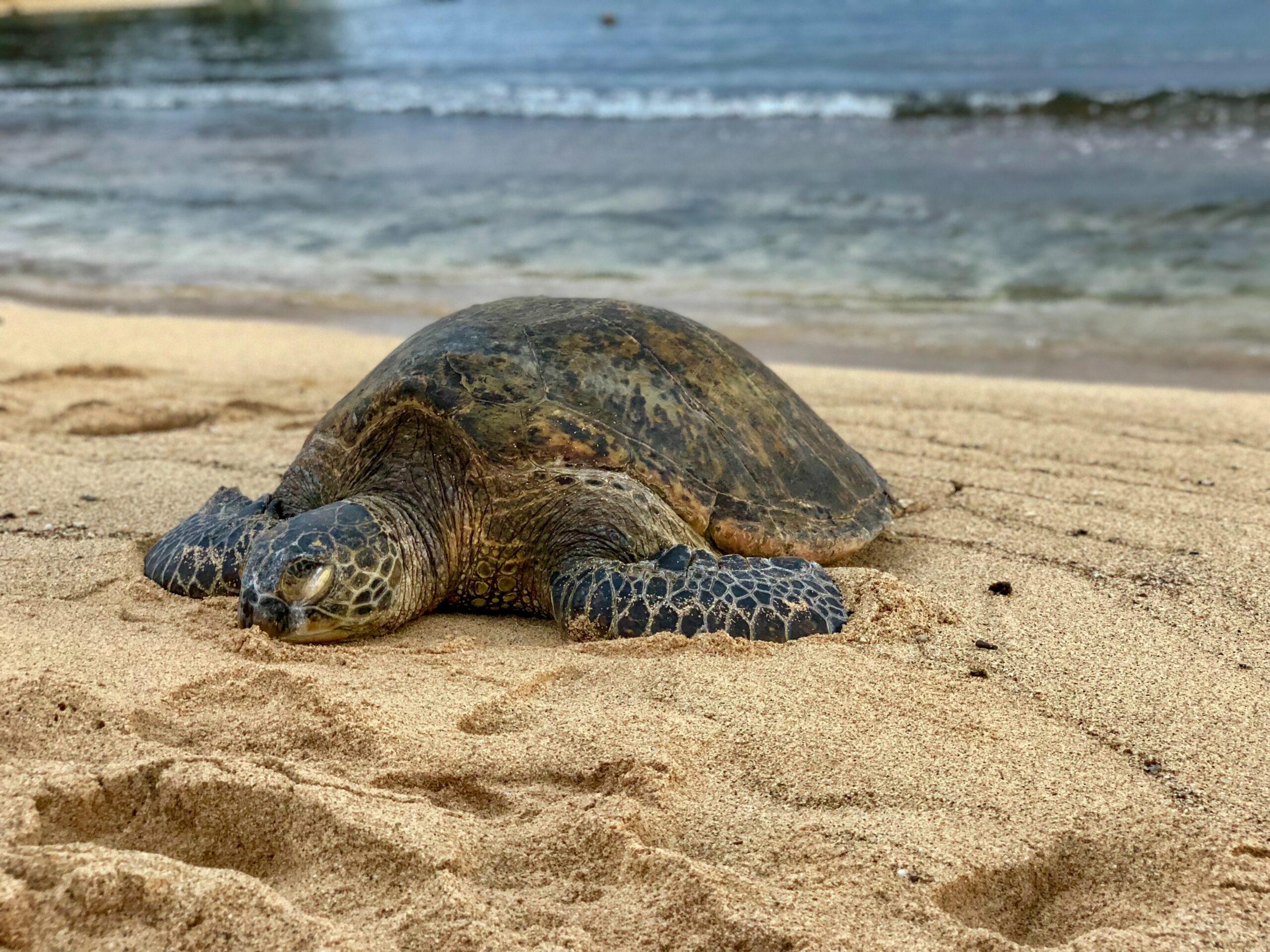 Trump Administration Sued for Failing to Protect Green Sea Turtle Habitat