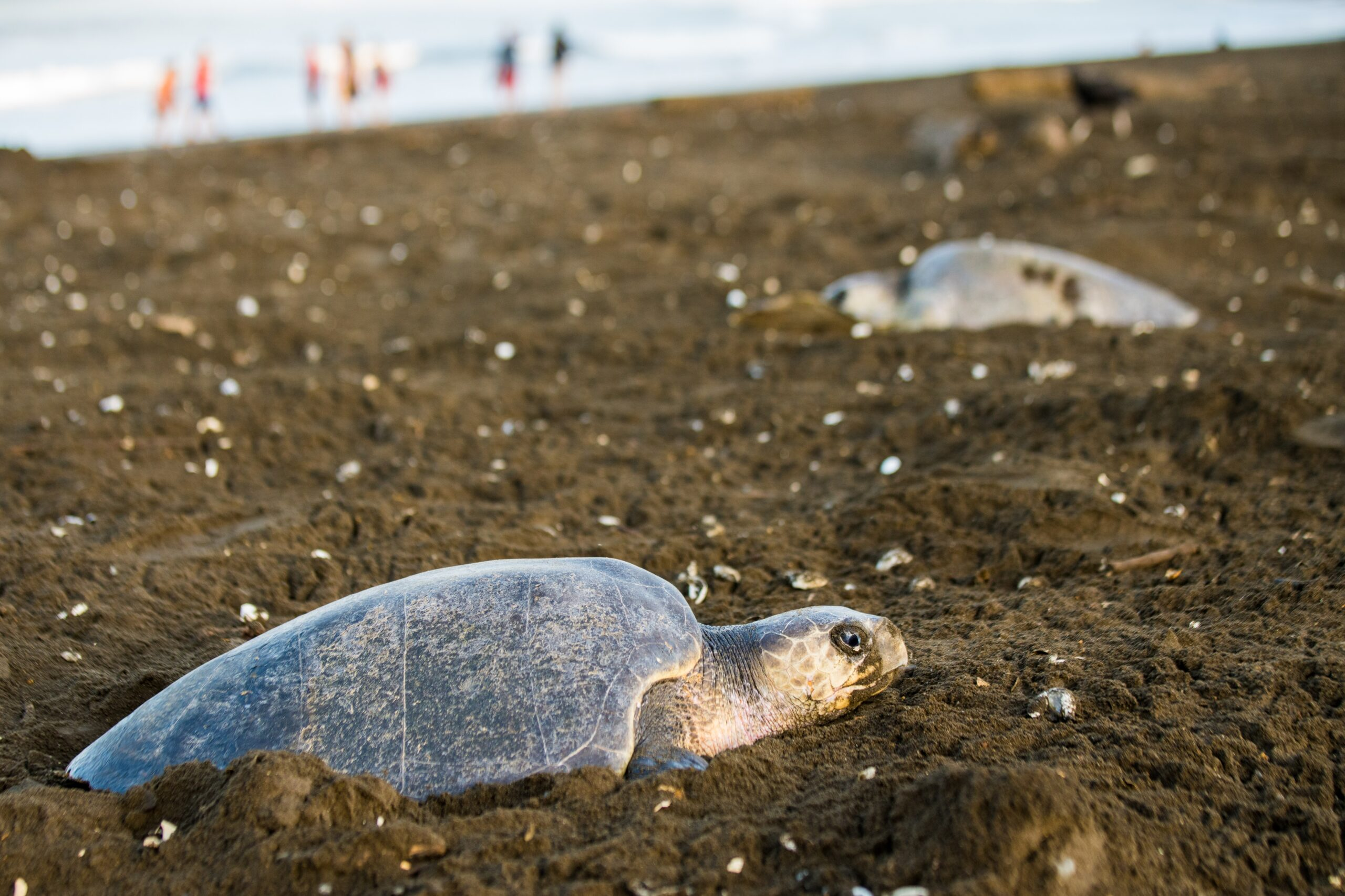 Amid COVID-19 Outbreak, Groups Offer Emergency Fundingto Protect Nesting Sea Turtles