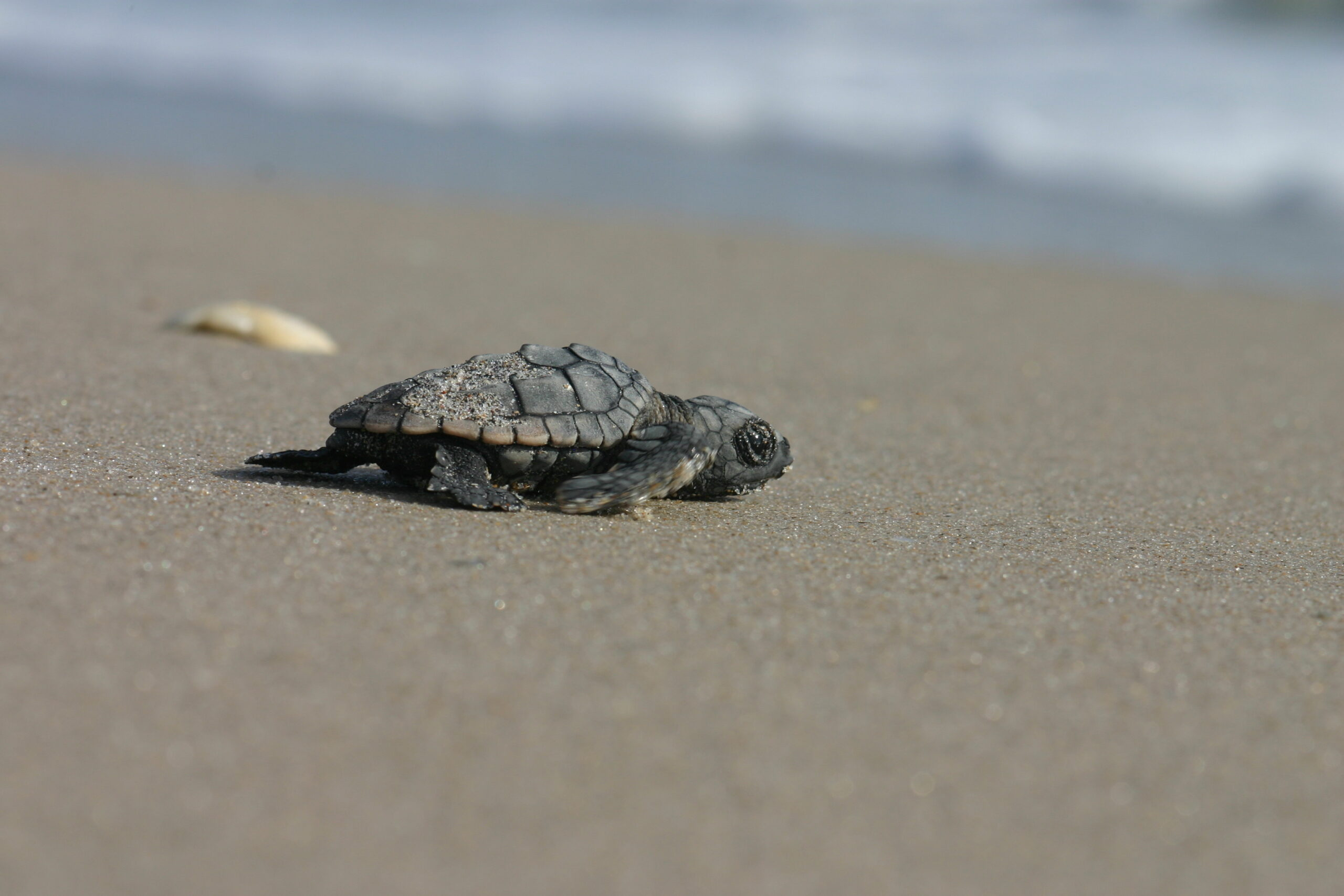 Sea Turtle Nesting Projects Awarded Emergency Funds to Ease COVID-19 Impact