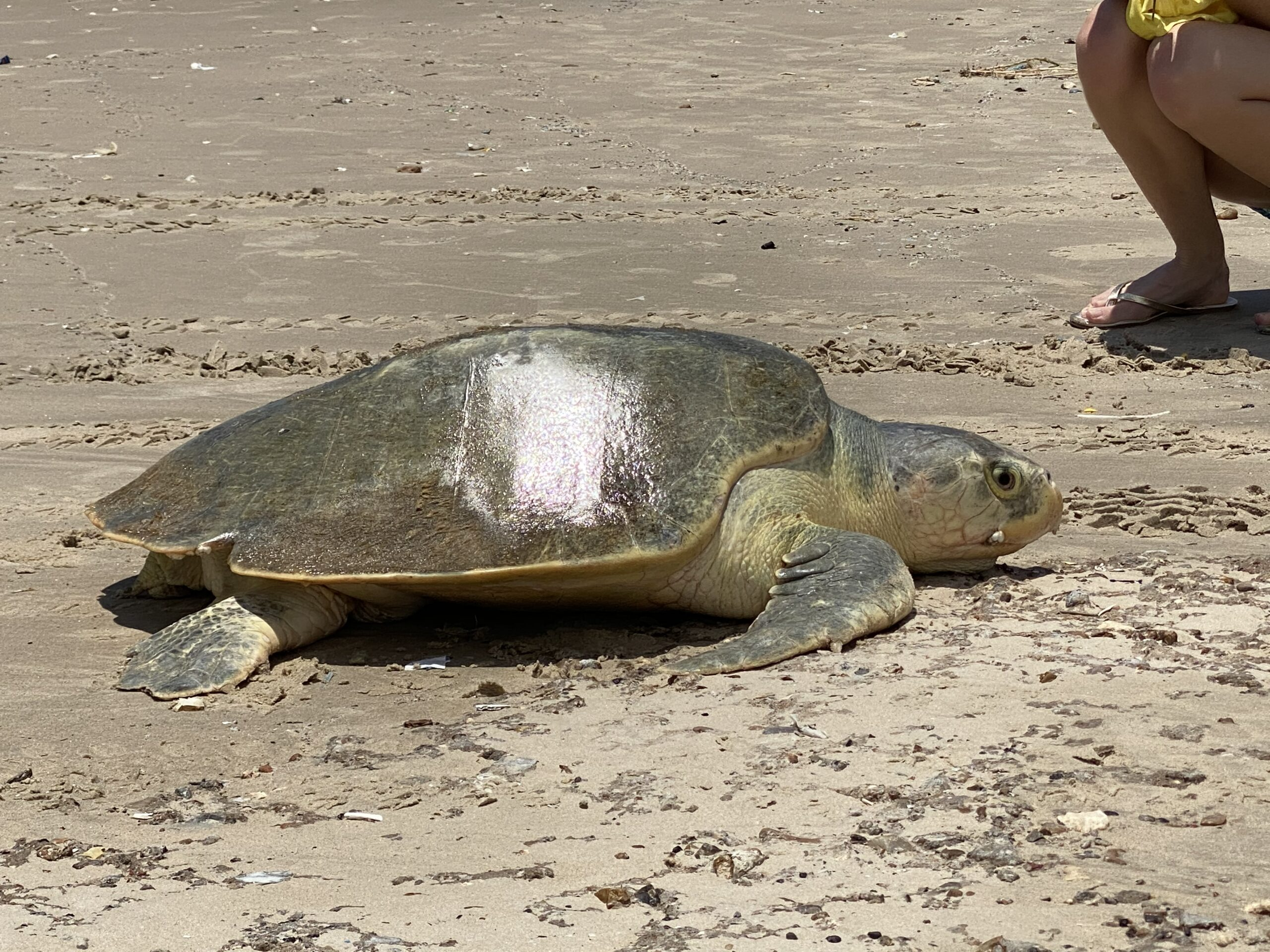 After Covid-19 Closures, Gulf Beaches Reopen as Sea Turtles Nest