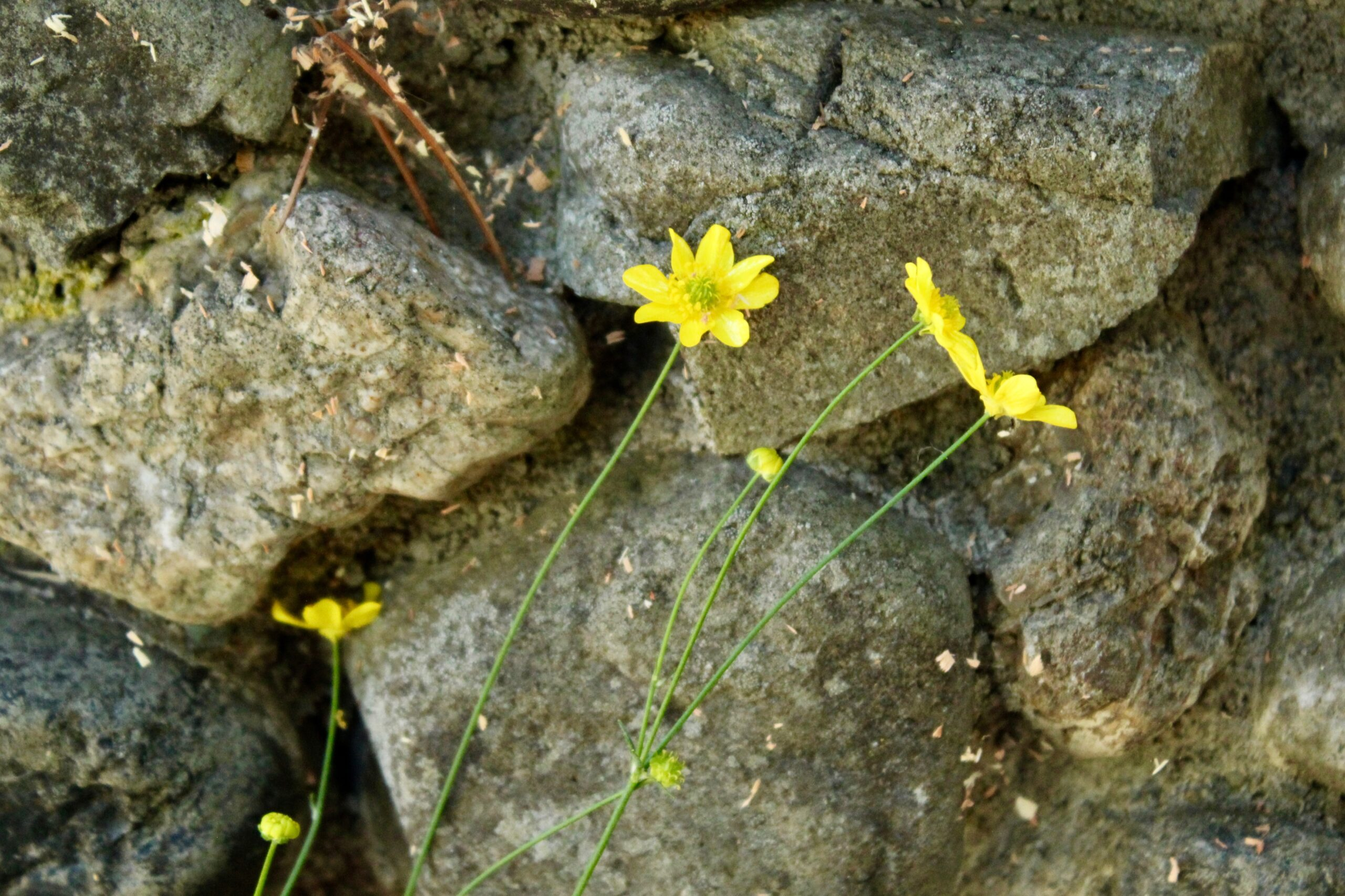 What's Blooming in the Nursery? Western Buttercup