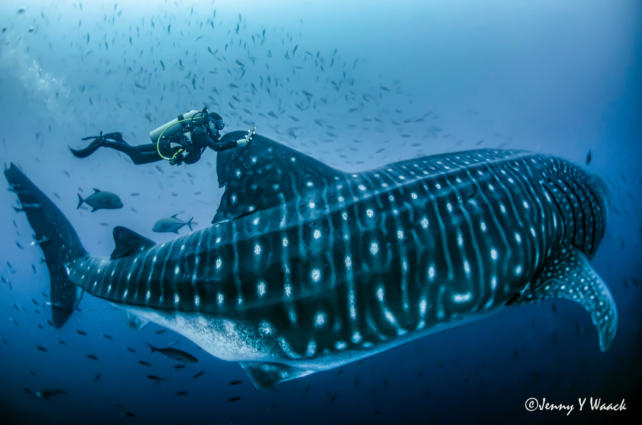 Whale Shark Migrating from Galapagos Island to Cocos Island Documented for First Time