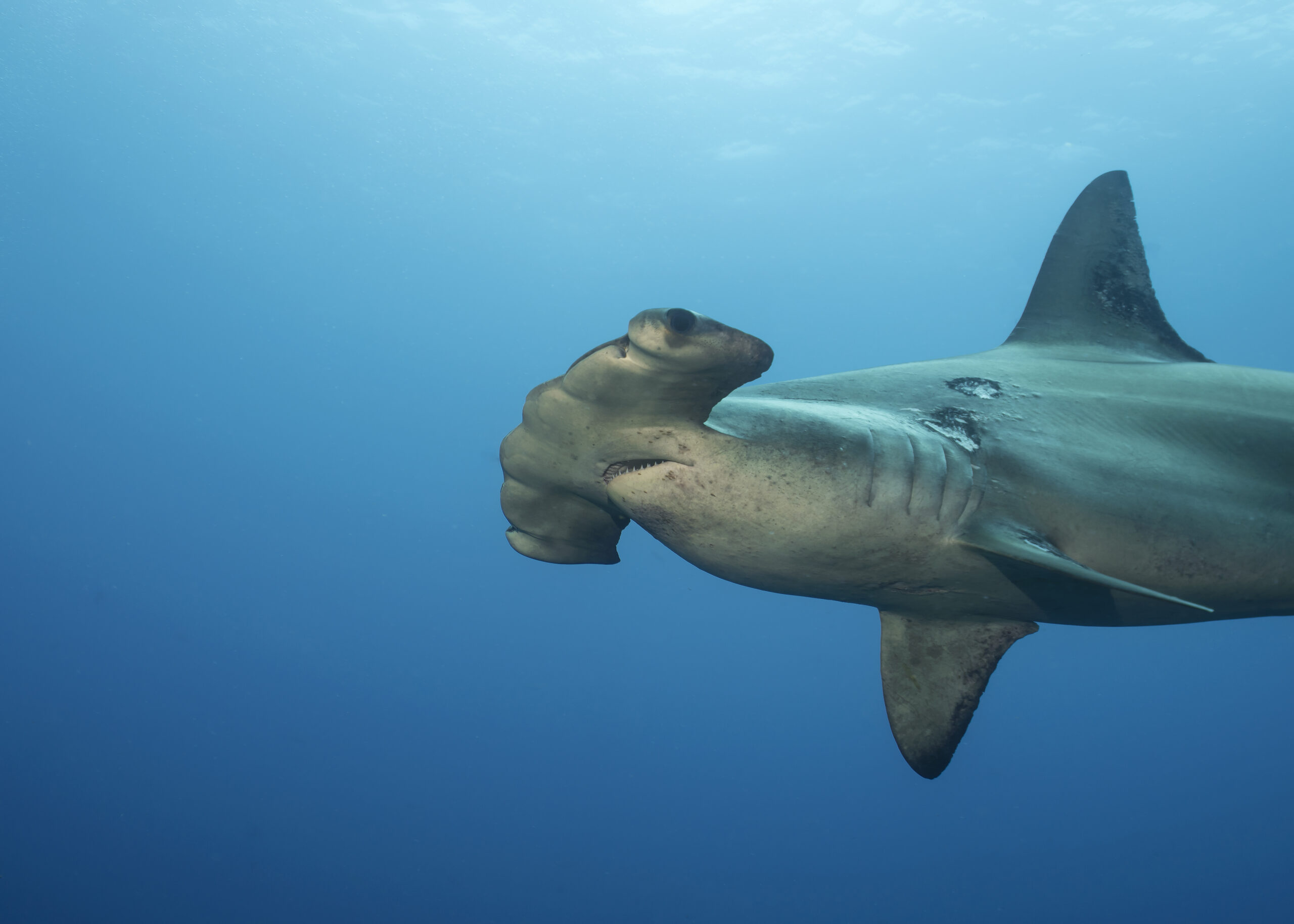 Scalloped Hammerhead Shark Among 10 Species Threatened by Wildlife Trade