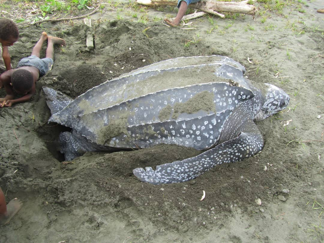 Company Abandons Controversial Sand Mining Venture on Leatherback Nesting Beach Following Public Backlash