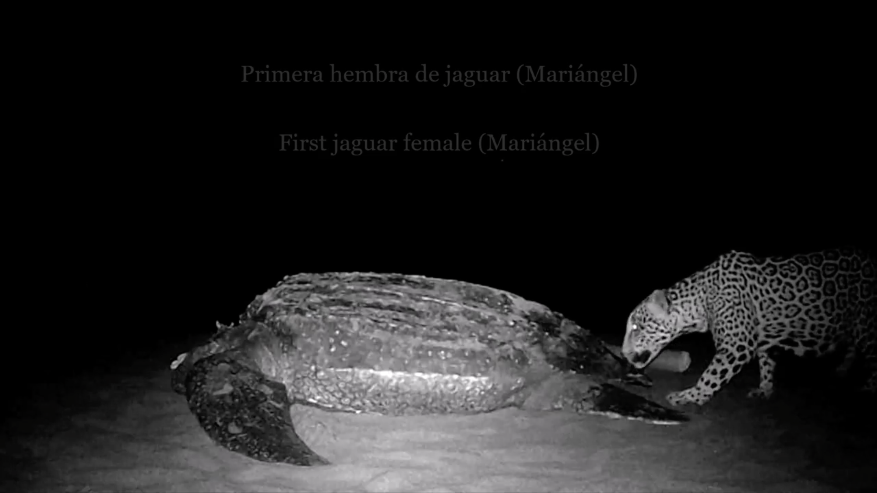 Video Shows Rare Interaction Between Jaguars and Endangered Pacific Leatherback Sea Turtle