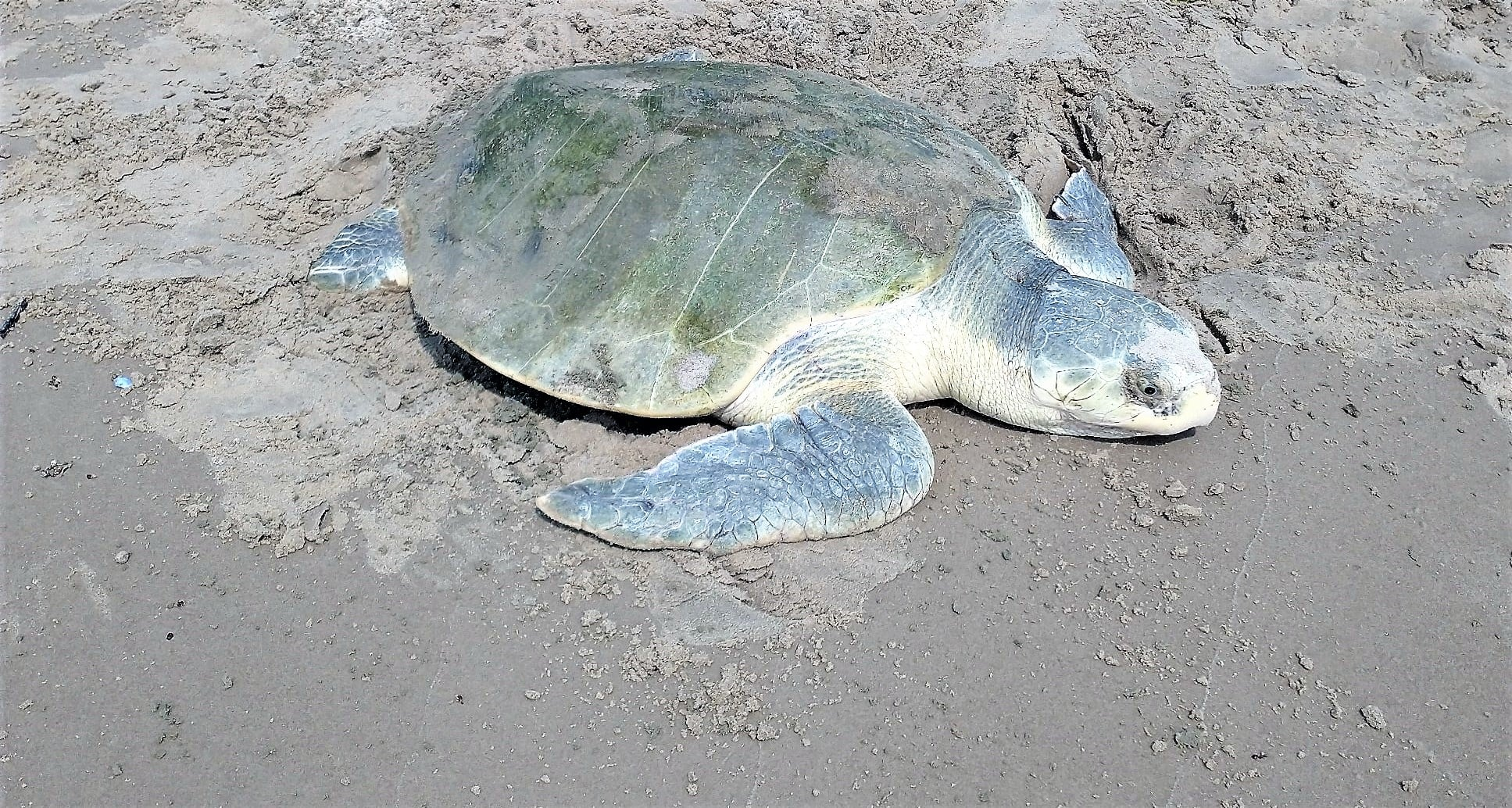First Kemp's Ridley Nests on Texas Coast Marks Late Start to 2021 Season