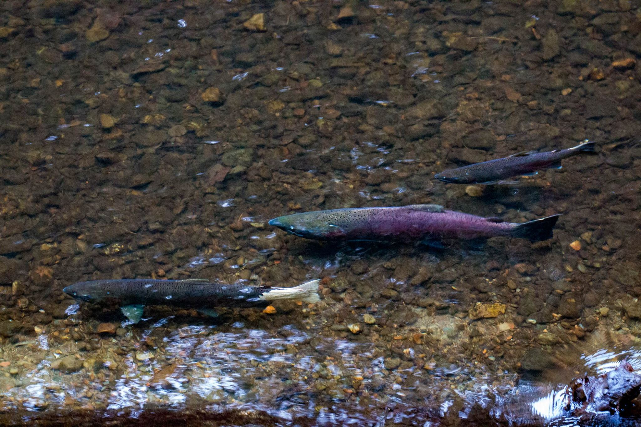 Court Rules Marin County's Protections for Endangered Coho Salmon Inadequate