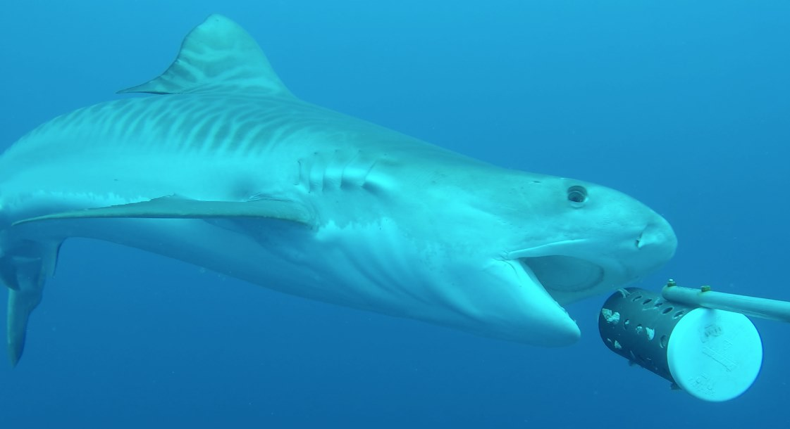 Tiger Shark Gets Up Close and Personal with 360° Underwater Camera