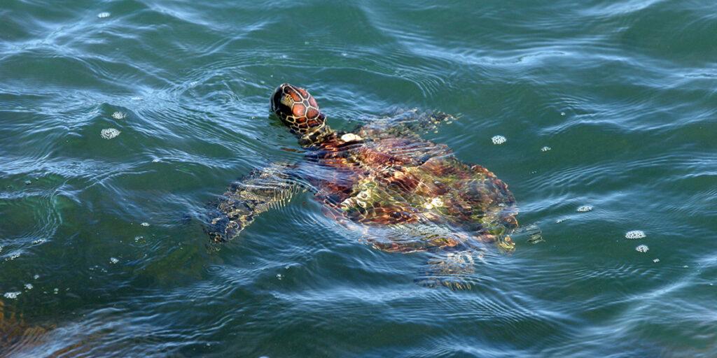 Green sea turtle photo by Dr. Pamela Plotkin