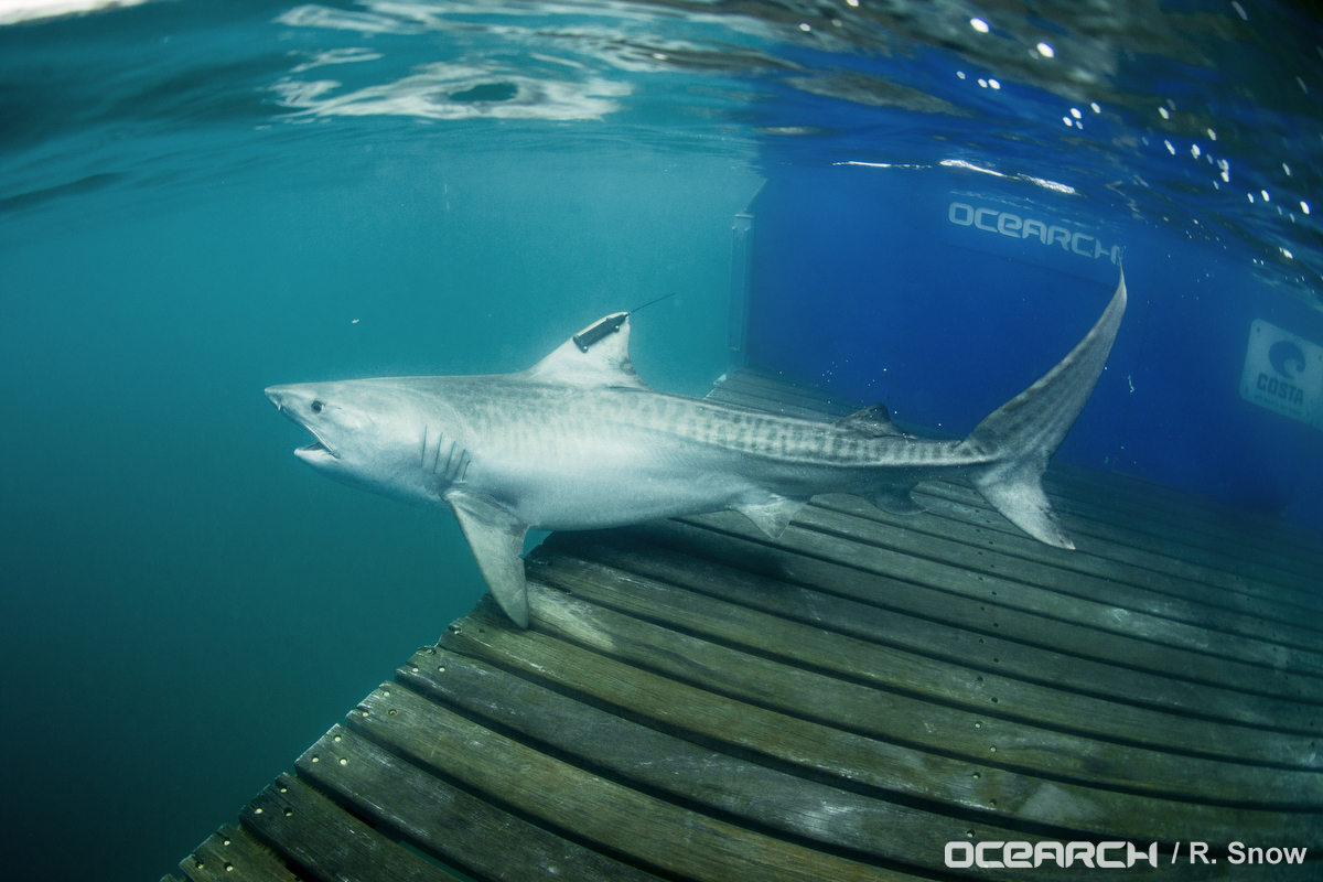 Tiger Shark Makes Historic Journey From the Galapagos Marine Reserve to Cocos Island National Park