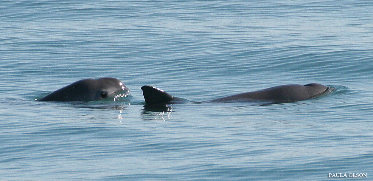 Scientists are Saving Critically Endangered Vaquitas by Listening to Them