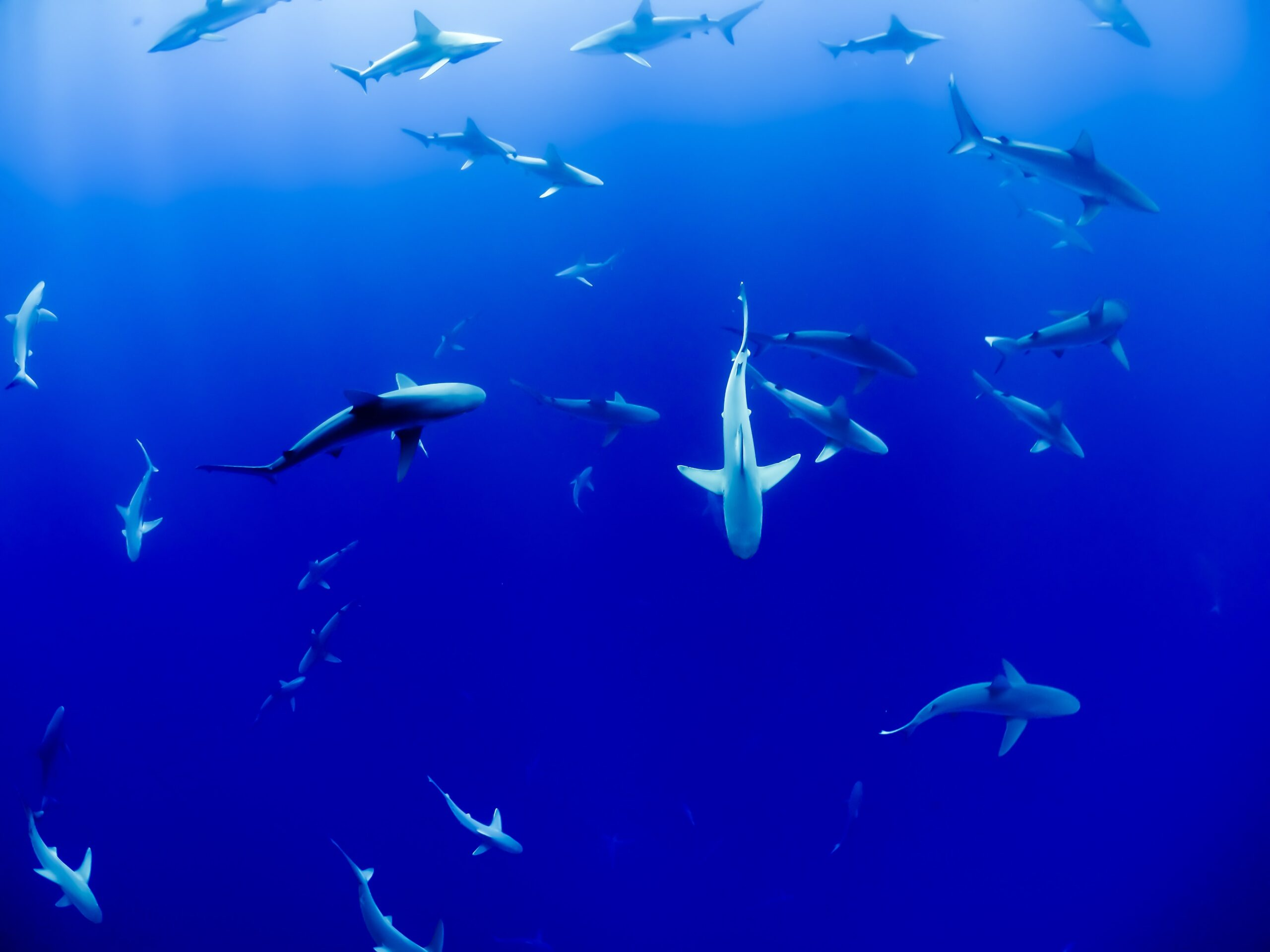 Costa Rica Urged to Protect Endangered Shark Species