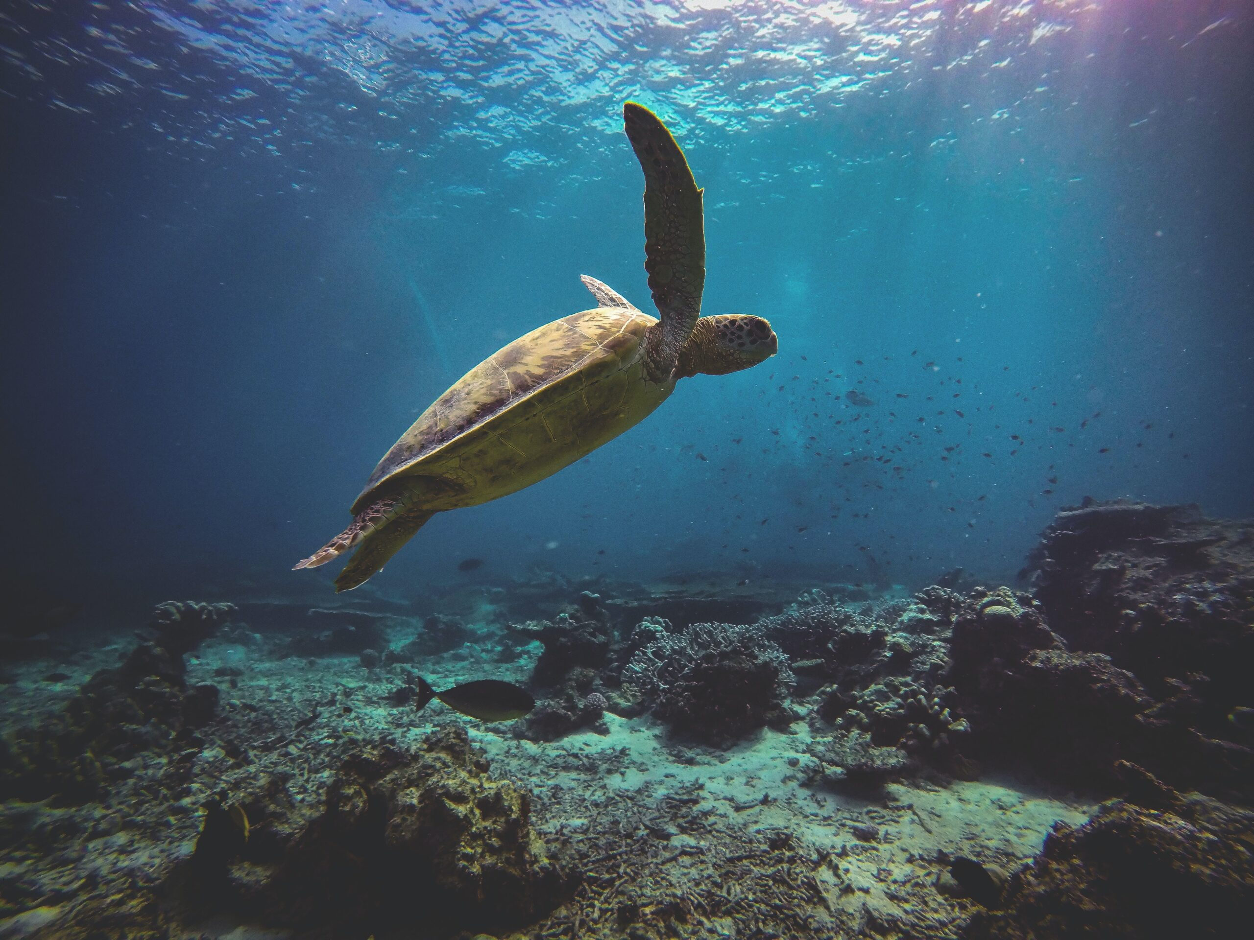 Study: Green Sea Turtles in Eastern Pacific Enjoy Higher Trophic Position