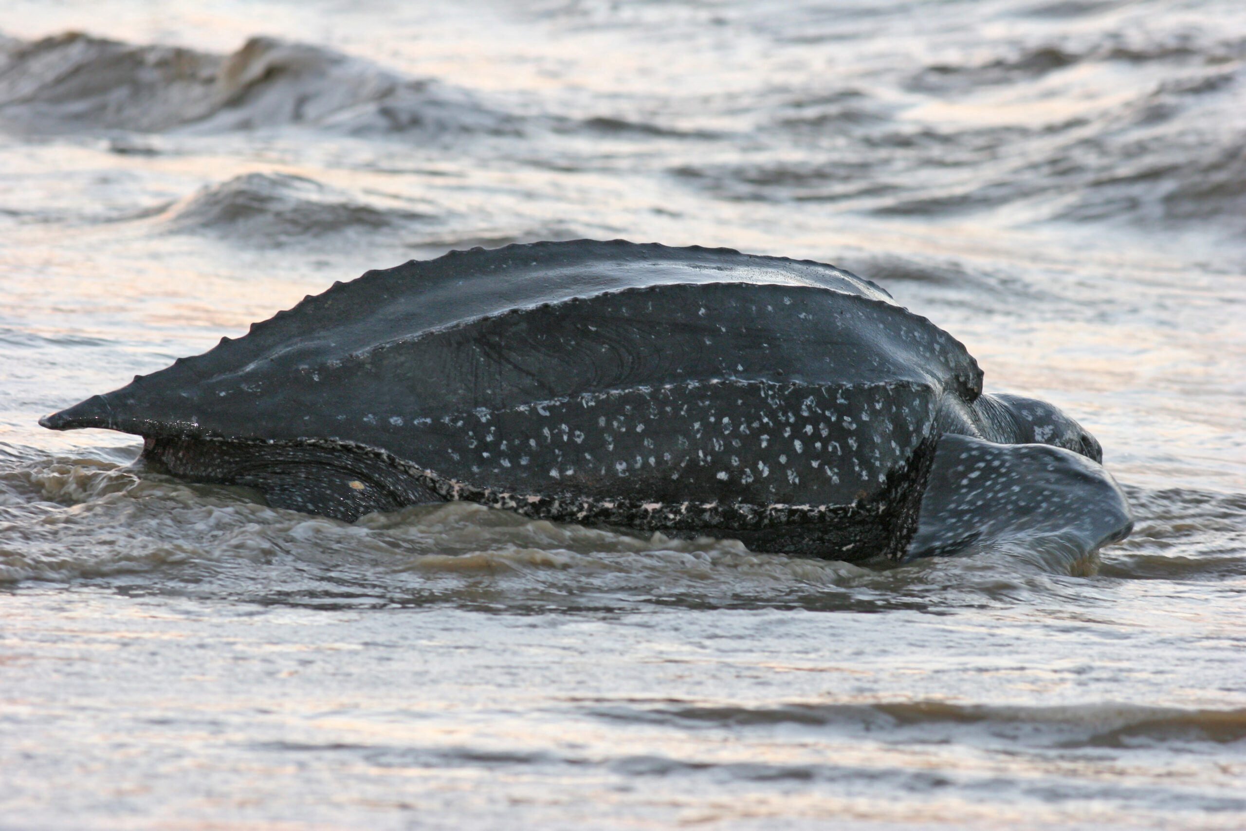 California Agency to Determine if Leatherback Sea Turtles Should be Listed as 'Endangered'