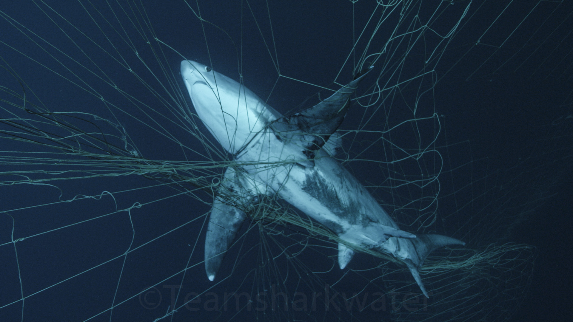 Sea Turtles, Sharks, Dolphins One Step Closer to Protection from Drift Gillnets